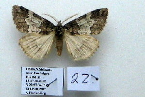 (Nemacerota sp. 22 - 20052-151012-CH)  @12 [ ] Copyright (2013) Aidas Saldaitis Vilinus Ecological Institute