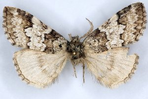 (Nemacerota inouei - 20057-150704-CH)  @13 [ ] Copyright (2013) Aidas Saldaitis Vilinus Ecological Institute