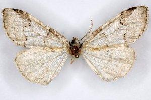 (Nemacerota mandibulata - 20058-151004-CH)  @12 [ ] Copyright (2013) Aidas Saldaitis Vilinus Ecological Institute