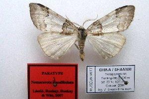 (Nemacerota matsumurana - 20060-170995-NE)  @11 [ ] Copyright (2013) Aidas Saldaitis Vilinus Ecological Institute