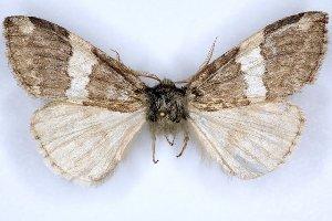 (Nemacerota owadai - 20062-151004-CH)  @12 [ ] Copyright (2013) Aidas Saldaitis Vilinus Ecological Institute
