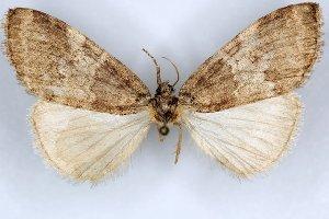 (Nemacerota stueningi - 20063-000036-CH)  @11 [ ] Copyright (2013) Aidas Saldaitis Vilinus Ecological Institute