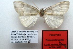 (Nemacerota taurina - 20064-150799-CH)  @11 [ ] Copyright (2013) Aidas Saldaitis Vilinus Ecological Institute