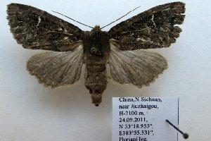 (Apamea nr. tuhuangi - 20076-240911-CH)  @14 [ ] Copyright (2013) Aidas Saldaitis Vilinus Ecological Institute