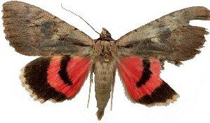 (Catocala optata - 20211-050812-MO)  @14 [ ] Copyright (2013) Robert Borth LepBio, LLC