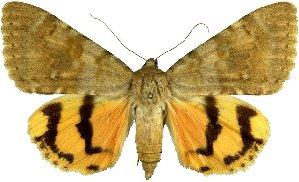 (Catocala lesbia - 20231-130710-IR)  @15 [ ] Copyright (2013) Robert Borth LepBio, LLC
