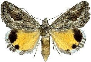 (Anydrophila intermixta - 20232-140512-KA)  @15 [ ] Copyright (2013) Robert Borth LepBio, LLC