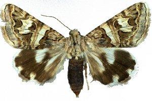 (Drasteria herzi - 20253-150610-AR)  @14 [ ] Copyright (2013) Robert Borth LepBio, LLC