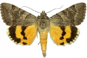 (Catocala neonympha - 20271-210610-KA)  @15 [ ] Copyright (2013) Robert Borth LepBio, LLC