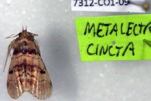 (Metalectra nr. cinctus - 7312-COI-09)  @12 [ ] Unspecified (default): All Rights Reserved  Unspecified Unspecified