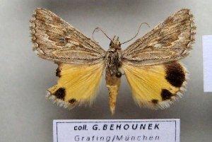 (Anydrophila imitatrix - 9305-180500-KA)  @14 [ ] Copyright (2008) Robert J. Borth Research Collection of Robert J. Borth