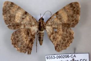 (Dorsifulcrum sp - 9353-090206-CA)  @12 [ ] Copyright (2008) Robert J. Borth Research Collection of Robert J. Borth