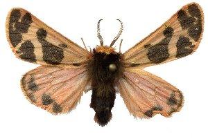 (Neoarctia brucei - 9398-CO)  @15 [ ] Copyright (2011) Robert Borth LepBio, LLC