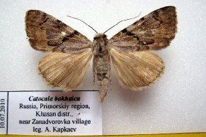 (Catocala bokhaica - 9483-100710-RU)  @14 [ ] Copyright (2011) Aidas Saldaitis Vilinus Ecological Institute