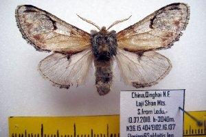 (Notodonta nr. pallida - 9493-100710-CH)  @13 [ ] Copyright (2011) Aidas Saldaitis Vilinus Ecological Institute