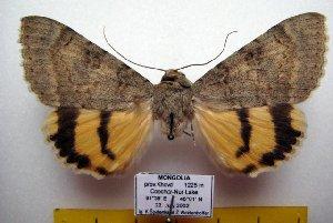 (Catocala nr. puerpera - 9506-220702-MO)  @15 [ ] Copyright (2011) Aidas Saldaitis Vilinus Ecological Institute