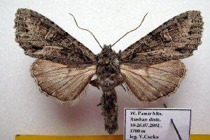 (Polia lama - 9512-150702-TA)  @11 [ ] Copyright (2011) Aidas Saldaitis Vilinus Ecological Institute