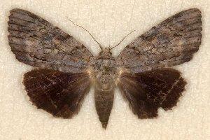 (Catocala myristica - 9543-290889-SC)  @13 [ ] Copyright (2011) Robert Borth LepBio, LLC