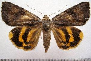(Catocala yuanna - 1002-150702-CH)  @14 [ ] Copyright (2011) Aidas Saldaitis Vilinus Ecological Institute