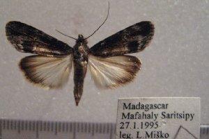 (Audea jonasi - 1017-270195-MA)  @11 [ ] Copyright (2011) Aidas Saldaitis Vilinus Ecological Institute