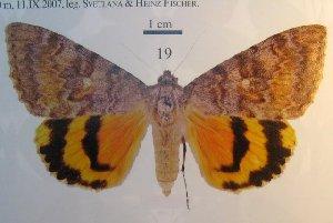 (Catocala olgaorlovae - 10247-061006-JO)  @12 [ ] Copyright (2011) Robert Borth LepBio, LLC