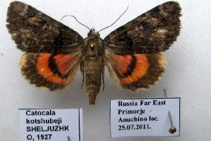 (Catocala kotshubeji - 10248-250711-RU)  @14 [ ] Copyright (2011) Robert Borth LepBio, LLC