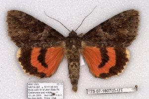 (Catocala irene Utah - 10279-180703-UT)  @11 [ ] Copyright (2011) Robert Borth LepBio, LLC