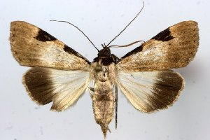 (Audea melanoptera - 10289-120110-KE)  @14 [ ] Copyright (2011) Robert Borth LepBio, LLC
