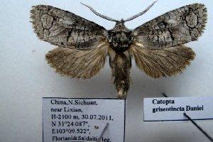 (Catoptinae - 10345-300711-CH)  @13 [ ] Copyright (2011) Aidas Saldaitis Vilinus Ecological Institute