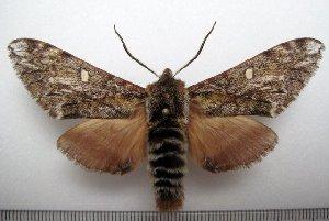 (Pentateuchini - 1035-020411-CH)  @15 [ ] Copyright (2011) Aidas Saldaitis Vilinus Ecological Institute