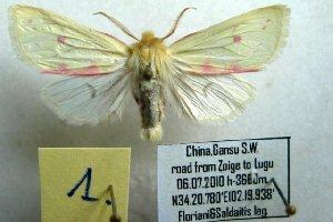 (Isochlora - 10361-060710-CH)  @15 [ ] Copyright (2011) Aidas Saldaitis Vilinus Ecological Institute