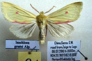 (Isochlora - 10362-060710-CH)  @15 [ ] Copyright (2011) Aidas Saldaitis Vilinus Ecological Institute