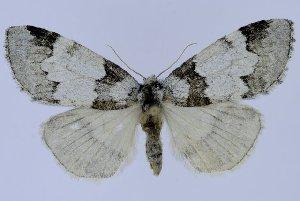 (Nemacerota mandlbulata - 10426-151009-CH)  @13 [ ] Copyright (2011) Aidas Saldaitis Vilinus Ecological Institute