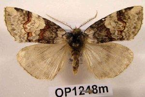 (Nemacerota sp. AS-1 - 10431-000000-CH)  @14 [ ] Copyright (2011) Aidas Saldaitis Vilinus Ecological Institute