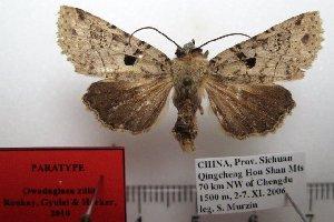 (Owadaglaea - 1043-051106-CH)  @15 [ ] Copyright (2011) Aidas Saldaitis Vilinus Ecological Institute