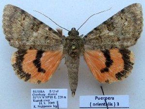 (Catocala orientalis - 10514-100909-RU)  @15 [ ] Copyright (2012) Aidas Saldaitis Vilinus Ecological Institute