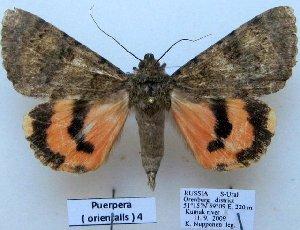 (Catocala orientalis - 10515-100909-RU)  @15 [ ] Copyright (2012) Aidas Saldaitis Vilinus Ecological Institute