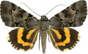 (Catocala columbina - 10524-260711-CH)  @15 [ ] Copyright (2012) Robert Borth LepBio, LLC
