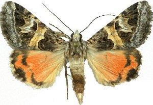 (Drasteria pulchra - 10542-040910-CA)  @15 [ ] Copyright (2012) Robert Borth LepBio, LLC