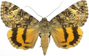 (Catocala desdemona - 10558-130612-UT)  @15 [ ] Copyright (2012) Robert Borth LepBio, LLC
