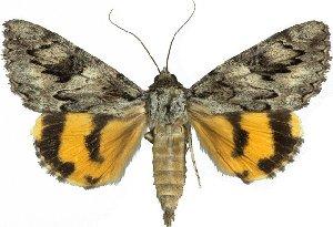 (Catocala johnsoniana - 10559-170612-CA)  @14 [ ] Copyright (2012) Robert Borth LepBio, LLC