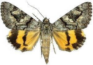(Catocala californiensis - 10560-200612-CA)  @15 [ ] Copyright (2012) Robert Borth LepBio, LLC