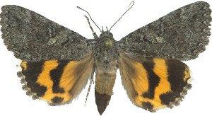 (Catocala chelidonia - 10561-200612-CA)  @12 [ ] Copyright (2012) Robert Borth LepBio, LLC