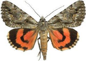 (Catocala verrilliana - 10584-120612-UT)  @15 [ ] Copyright (2012) Robert Borth LepBio, LLC