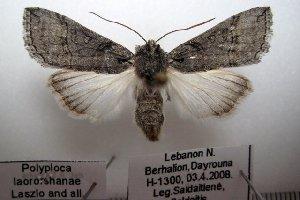 (Polyploca laororshanae - 1061-030408-LE)  @13 [ ] Copyright (2011) Aidas Saldaitis Vilinus Ecological Institute