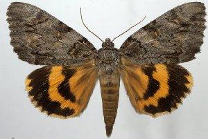 (Catocala neogama - 1087-300607-AZ)  @15 [ ] Copyright (2011) Aidas Saldaitis Vilinus Ecological Institute