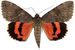 (Catocala jessica - 1184-310711-AZ)  @15 [ ] Copyright (2011) Robert Borth LepBio, LLC
