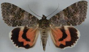 (Catocala nupta complex - 20430-270711-PA)  @14 [ ] Copyright (2014) Robert Borth LepBio, LLC