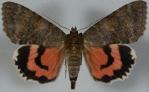 (Catocala concubia - 20432-190609-CH)  @13 [ ] Copyright (2014) Robert Borth LepBio, LLC