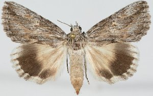 (Anydrophila steubeli - 20434-0404013-IR)  @15 [ ] Copyright (2014) Robert Borth LepBio, LLC